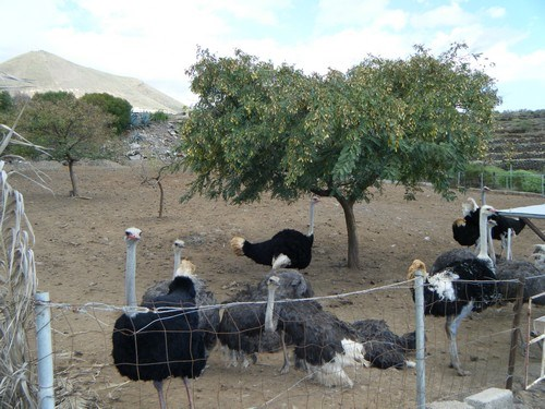 Ostrich farm For sale in Tenerife South, Tenerife